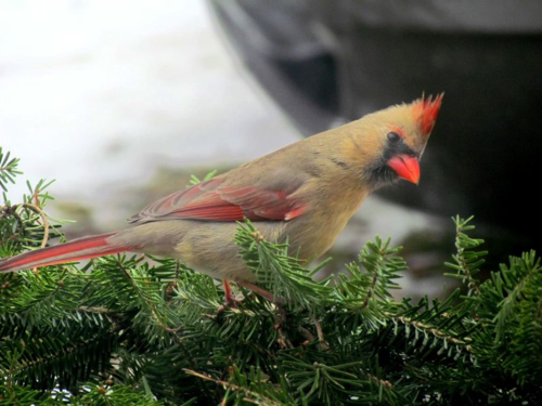 Northern Cardinal young DSC_1694 Castillo