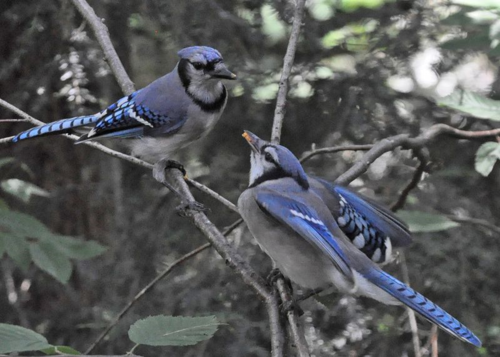 Blue Jay feeding young DSC_0693 Castillo