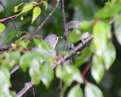 Tufted Titmouse young DSC_8355 Castillo