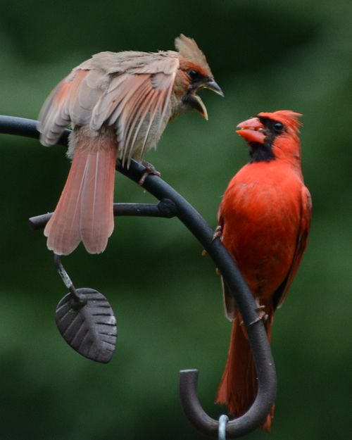 Northern Cardinal male w young DSC_8311 Castillo