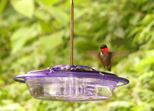 Ruby-throated Hummingbird - WBU Purple Decorative Feeder