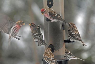 Common Redpolls EcoClean Feeder DSC_5268