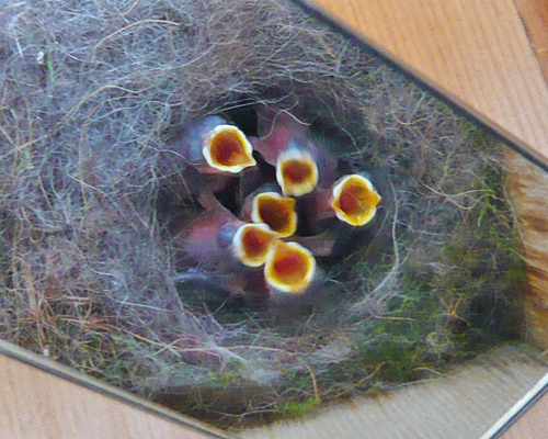 Black-capped Chickadee brood2 072813 L1010523