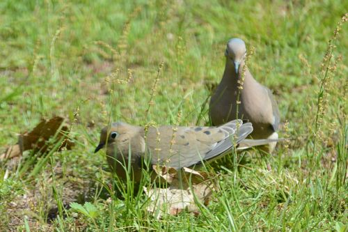 Mourning Dove pair DSC_6977 Castillo