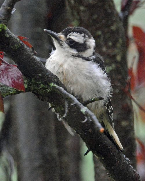 Hairy Woodpecker fledgling DSC_7263 Castillo