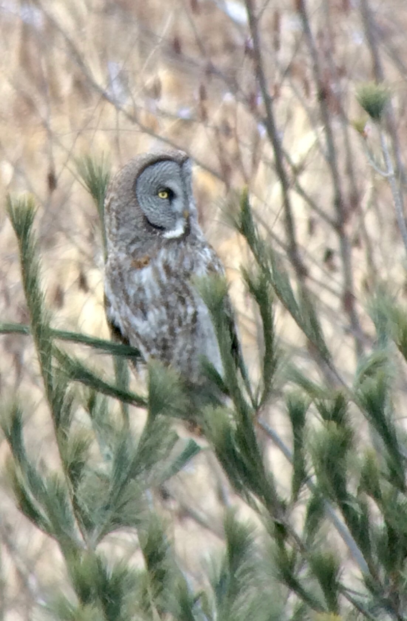 Great Gray Owl 1 iPhone5s Castillo