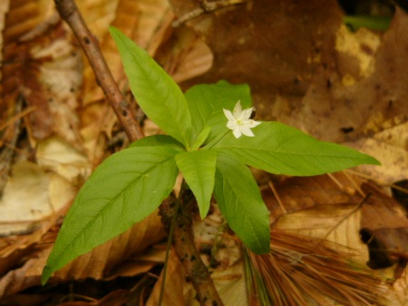 Starflower_0507