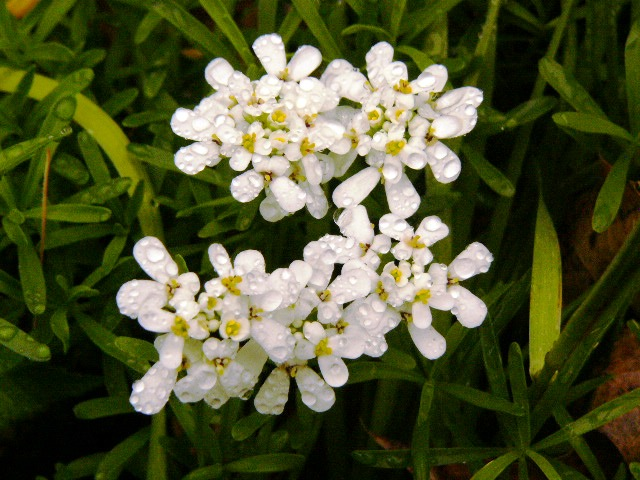 1st_candytuft_07