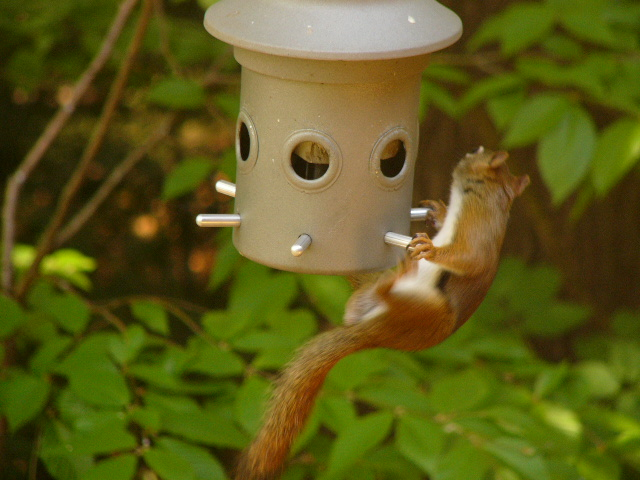 Red_squirrel_1_0507