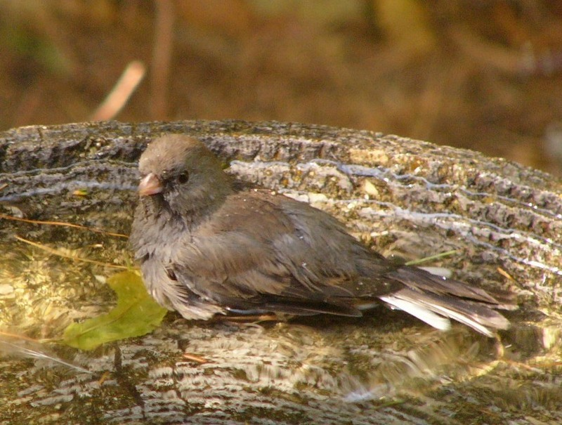 Junco_bath_p1110100