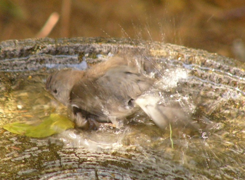 Junco_bath_p1110107