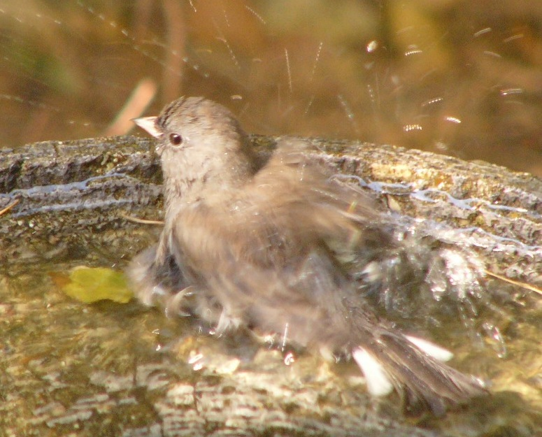 Junco_bath_p1110111