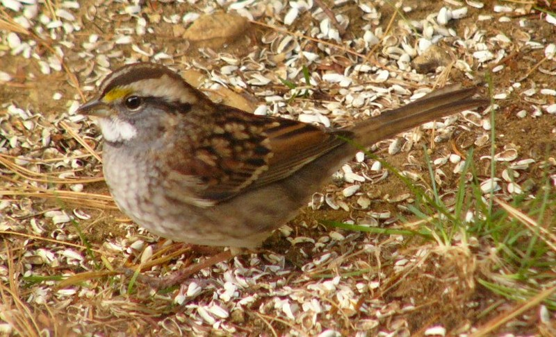 White_throated_sparrow_p1110690