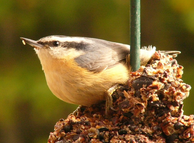 Red_breasted_nuthatch_p1110942