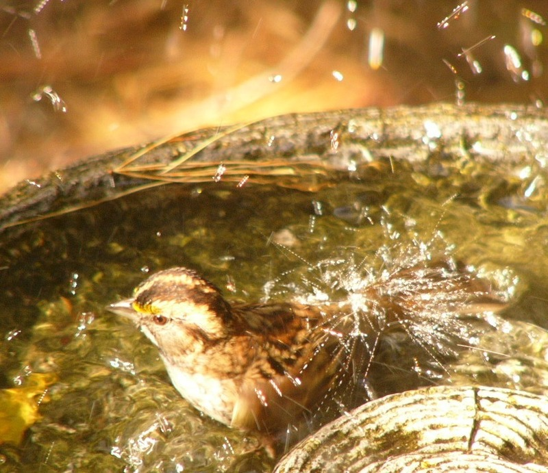 White_throated_sparrow_p1120262