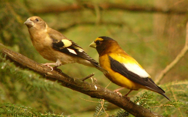 Evening_grosbeak_p1090710