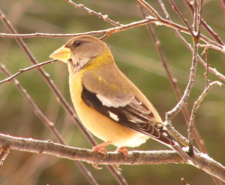 Evening_grosbeak_p1140414