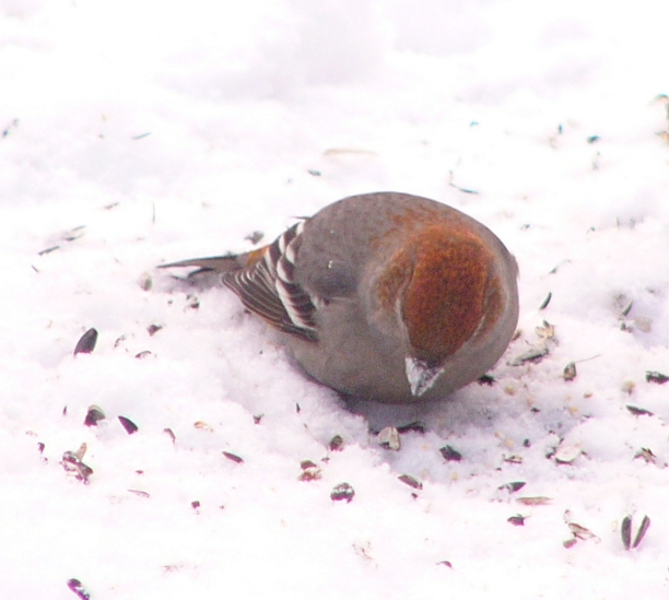 Pine_grosbeak_p1150082