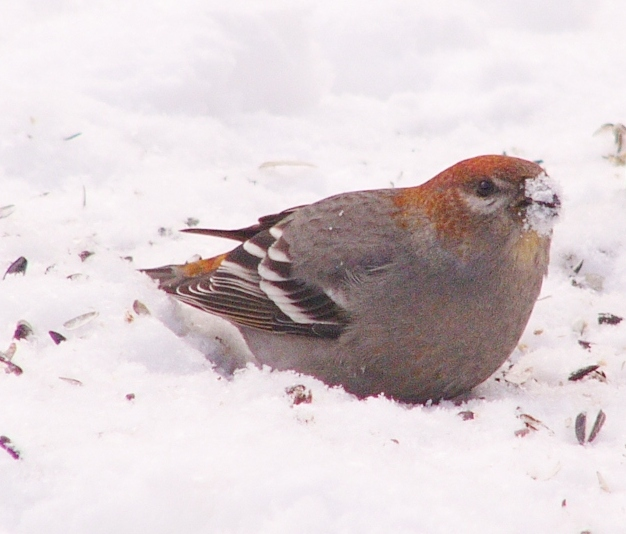 Pine_grosbeak_p1150093