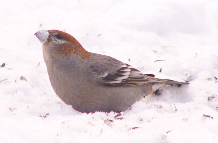 Pine_grosbeak_p1150131