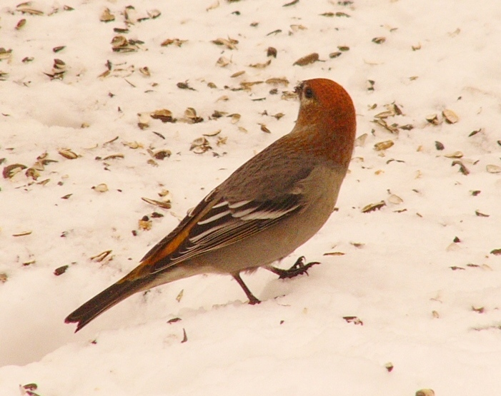 Pine_grosbeak_p1150158