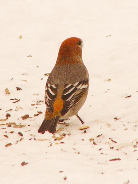Pine_grosbeak_p1150178