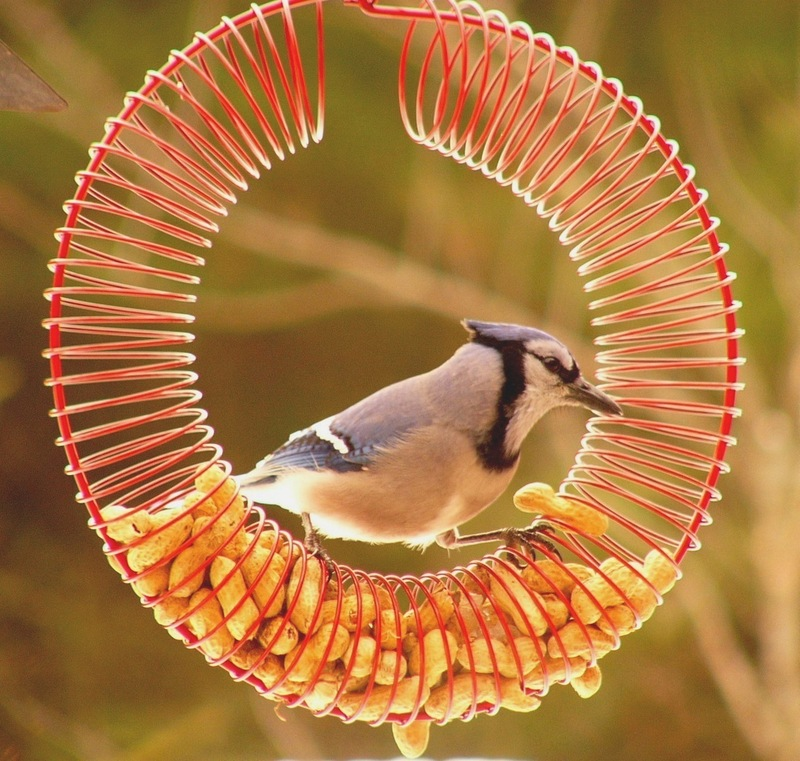 Blue_jay_peanut_wreath_p1140076