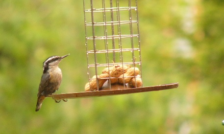 Peanut_pantry_red_breasted_nuthatch