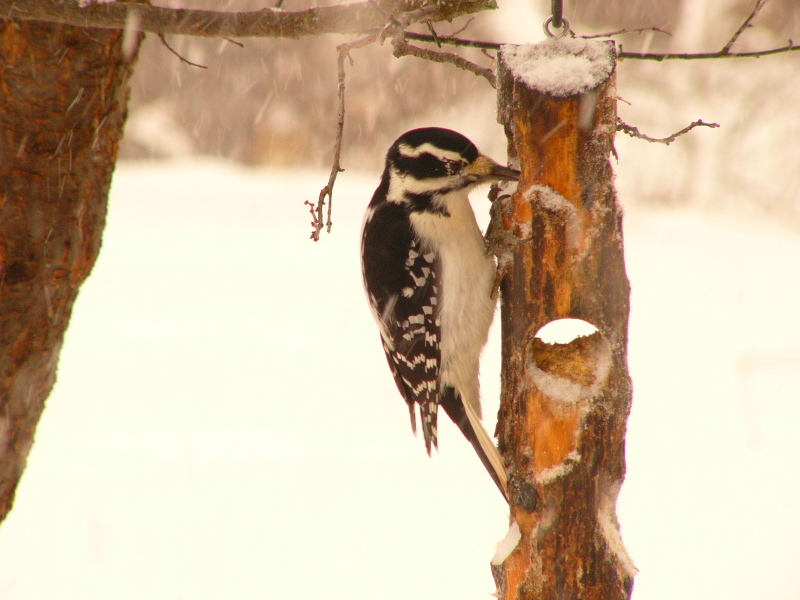 Hairy_woodpecker_suet_log_p1160257
