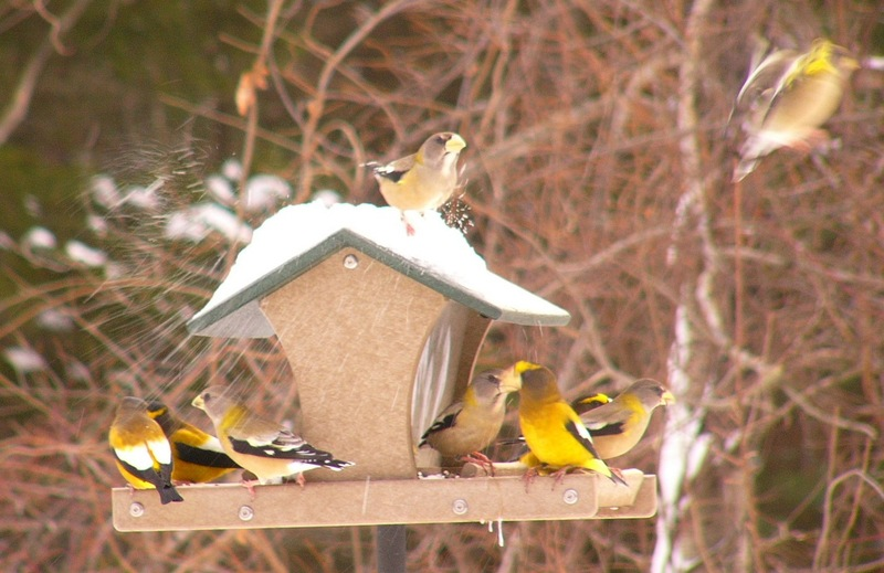 Evening_grosbeaks_p1140886