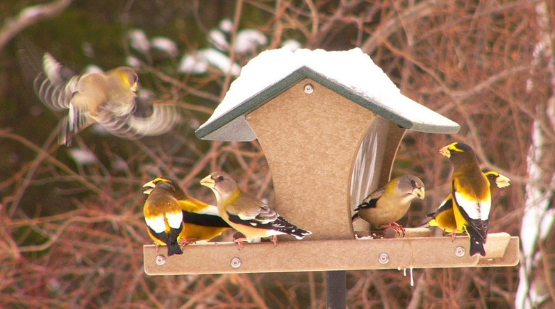 Evening_grosbeaks_p1140893