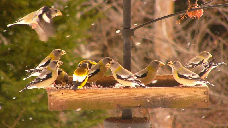 Evening_grosbeaks_p1150338