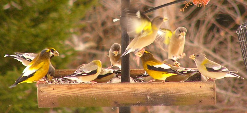 Evening_grosbeaks_p1150388