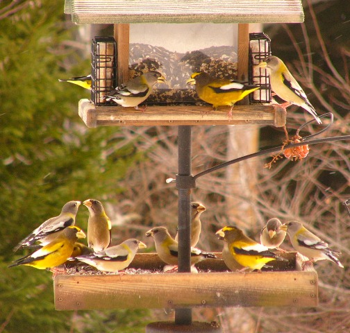 Evening_grosbeaks_p1150386web