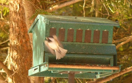 Chickadee_angel_p1170027_web