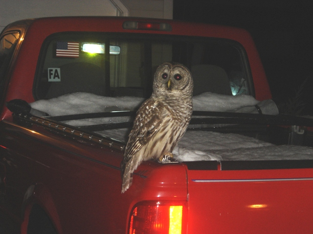 Judimarie_b_barred_owl