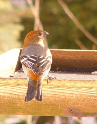 Pine_grosbeak_p1180195_web
