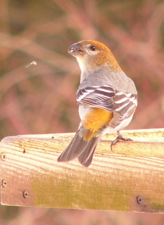 Pine_grosbeak_p1180219_web