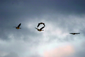 Canada_geese_flying