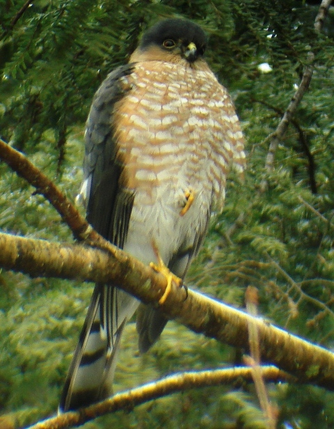 Sharpshinned_hawk_dsc02078_2
