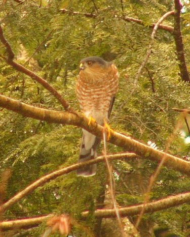 Sharpshinned_hawk_p1180562