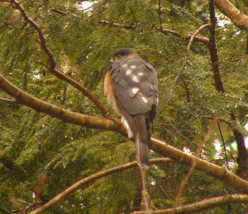 Sharpshinned_hawk_p1180576