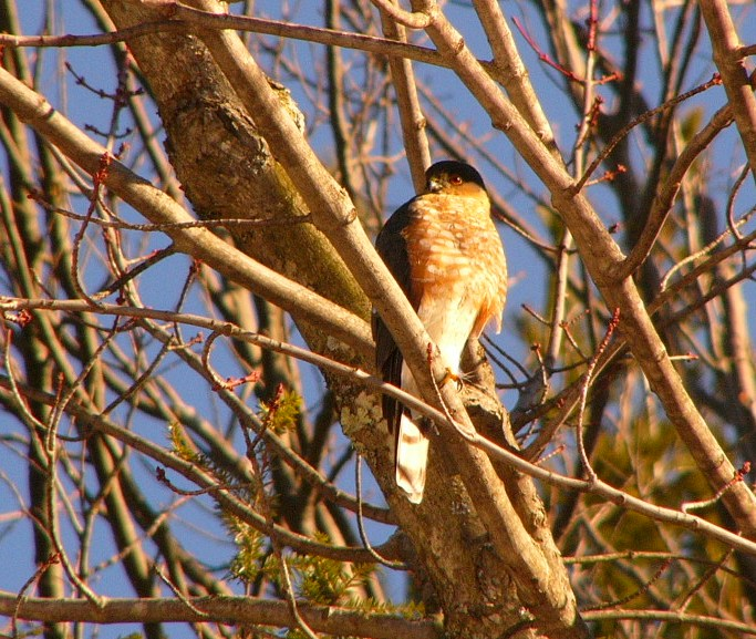 Sharpshinned_hawk_p1190013