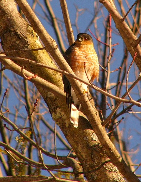 Sharpshinned_hawk_p1190058