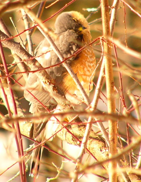 Sharpshinned_hawk_p1190226