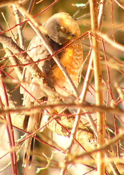 Sharpshinned_hawk_p1190228