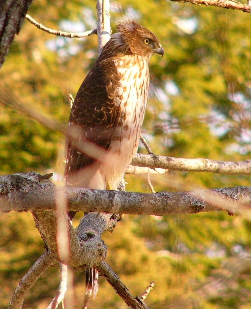 Coopers_hawk_imm_p1190583