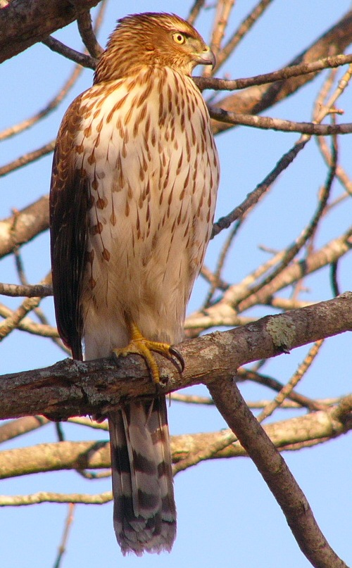 Coopers_hawk_imm_p1190653