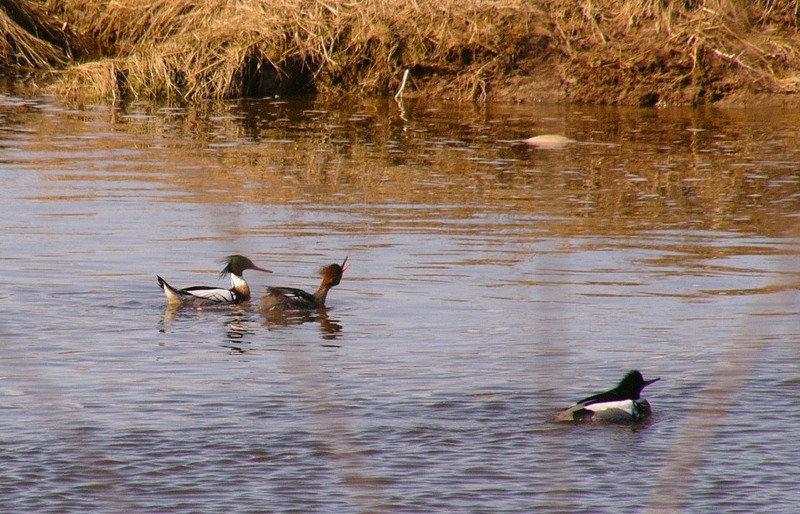 Red_breasted_mergansers_p1190702