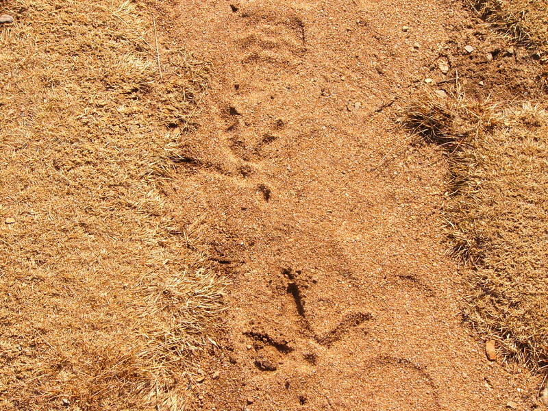 Turkey_tracks_p1190736
